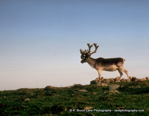 Click the image to view my Caribou Galleries.